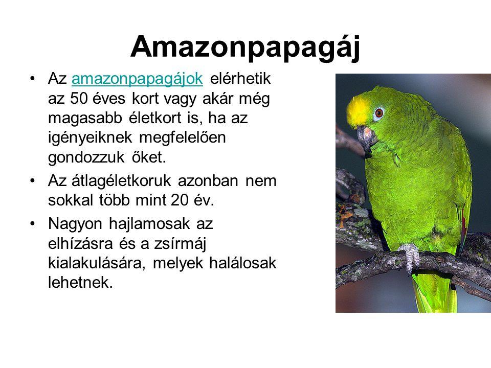 Amazonpapagáj Az amazonpapagájok elérhetik az 50 éves kort vagy akár még magasabb életkort is, ha az igényeiknek megfelelően gondozzuk őket.
