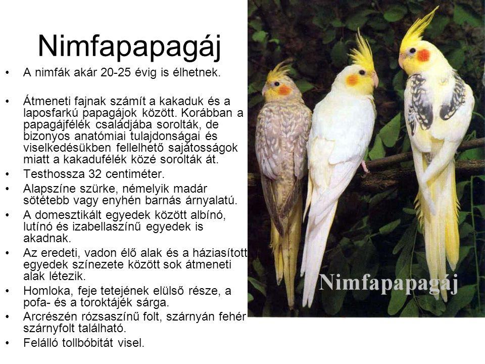 Nimfapapagáj A nimfák akár 20-25 évig is élhetnek.