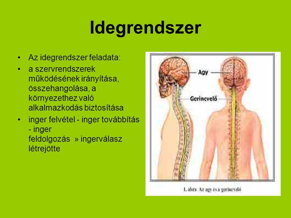 Idegrendszer Az idegrendszer feladata: