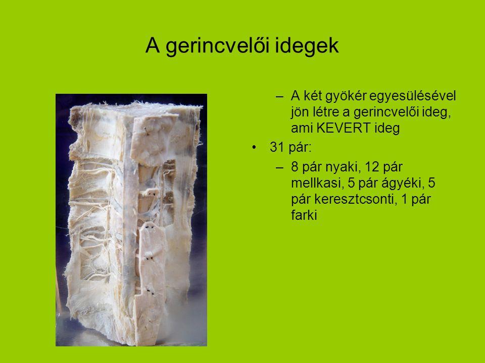 A gerincvelői idegek A két gyökér egyesülésével jön létre a gerincvelői ideg, ami KEVERT ideg. 31 pár: