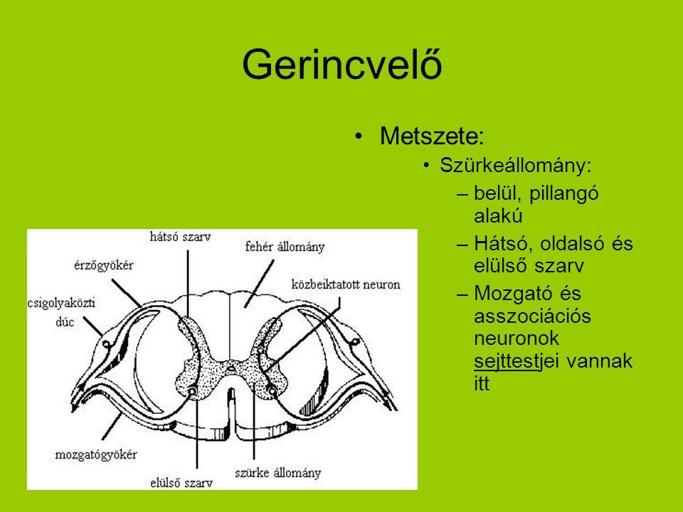 Gerincvelő Metszete: Szürkeállomány: belül, pillangó alakú