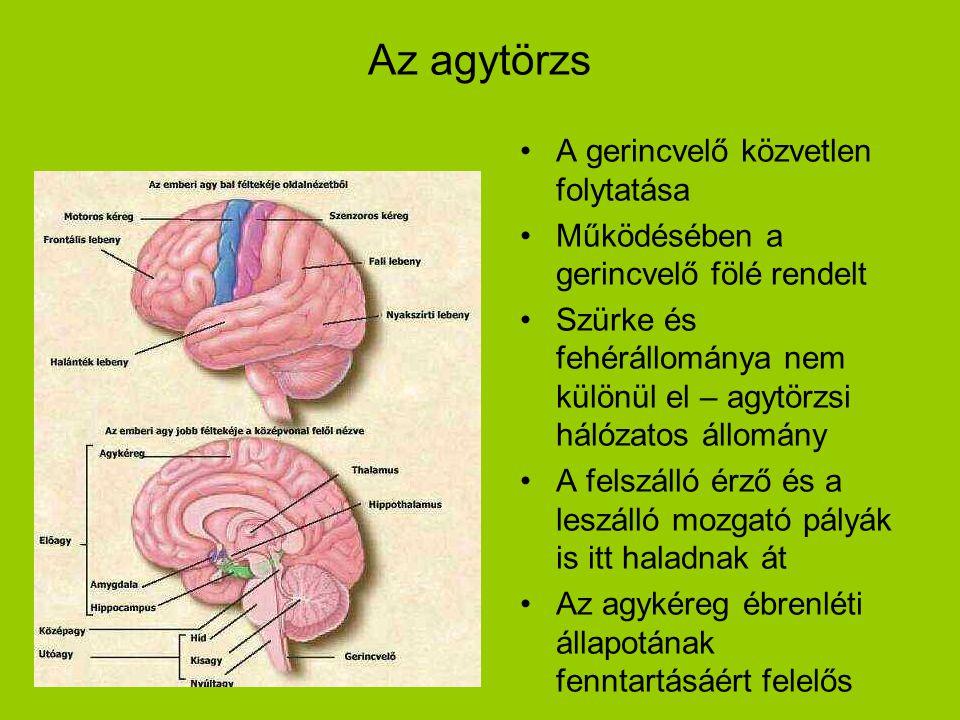 Az agytörzs A gerincvelő közvetlen folytatása