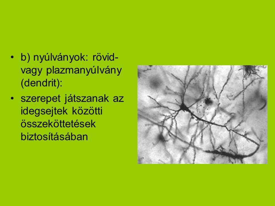 b) nyúlványok: rövid-vagy plazmanyúlvány (dendrit):