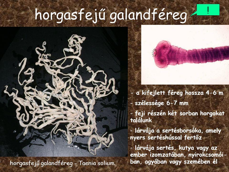 horgasfejű galandféreg