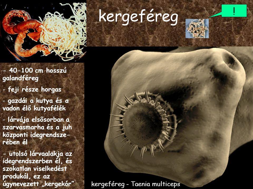 kergeféreg ! - 40-100 cm hosszú galandféreg feji része horgas