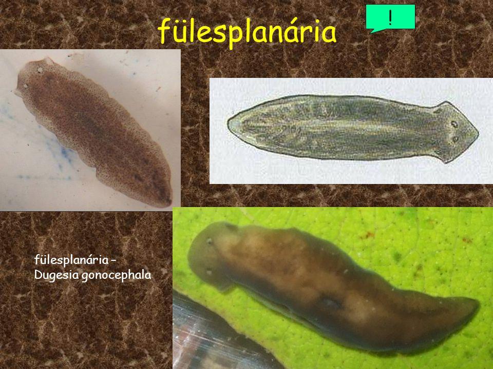 fülesplanária ! fülesplanária – Dugesia gonocephala