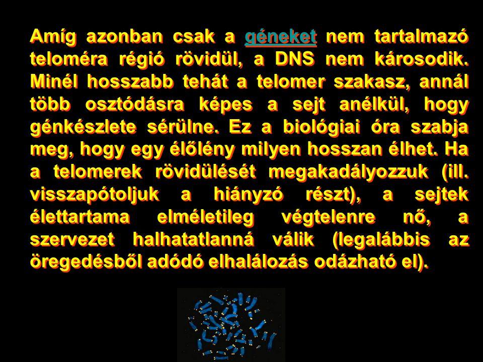 Amíg azonban csak a géneket nem tartalmazó teloméra régió rövidül, a DNS nem károsodik.