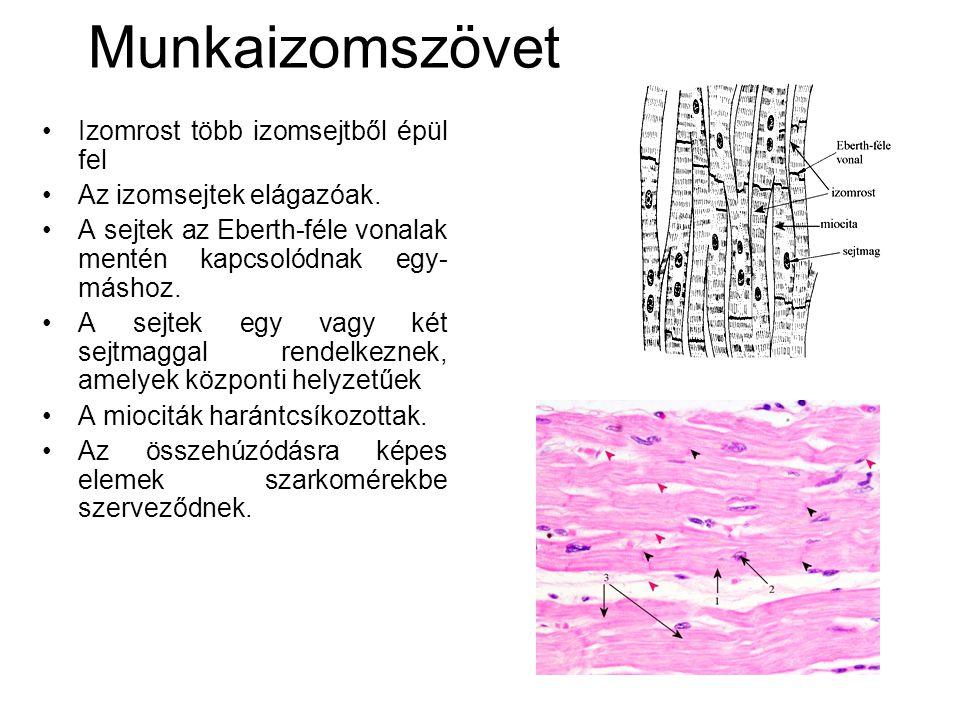 Munkaizomszövet Izomrost több izomsejtből épül fel
