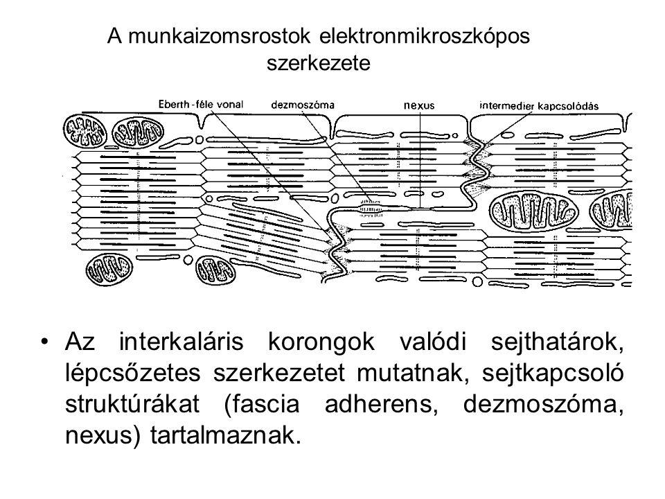 A munkaizomsrostok elektronmikroszkópos szerkezete
