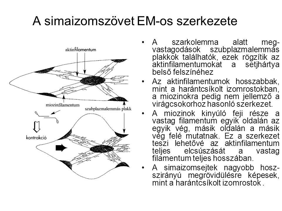 A simaizomszövet EM-os szerkezete