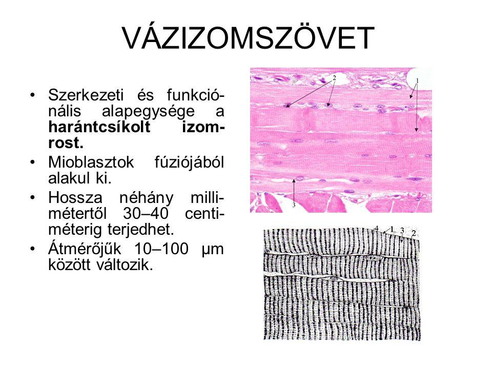 VÁZIZOMSZÖVET Szerkezeti és funkció-nális alapegysége a harántcsíkolt izom-rost. Mioblasztok fúziójából alakul ki.