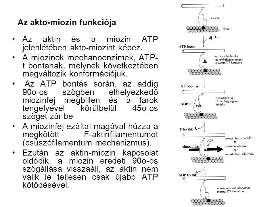 Az akto-miozin funkciója