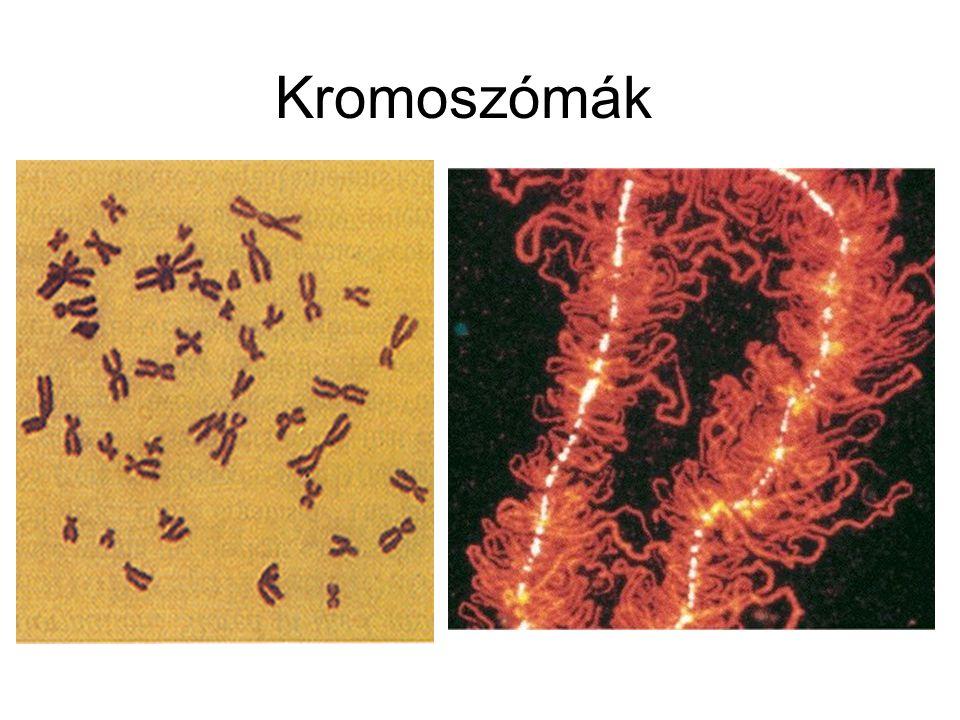 Kromoszómák