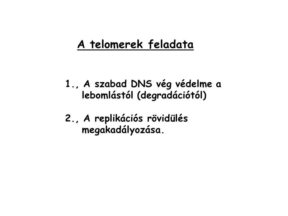 A telomerek feladata 1., A szabad DNS vég védelme a