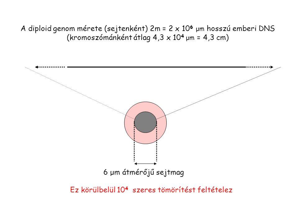 A diploid genom mérete (sejtenként) 2m = 2 x 106 μm hosszú emberi DNS