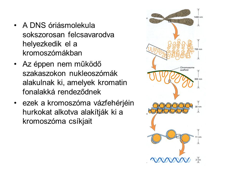A DNS óriásmolekula sokszorosan felcsavarodva helyezkedik el a kromoszómákban