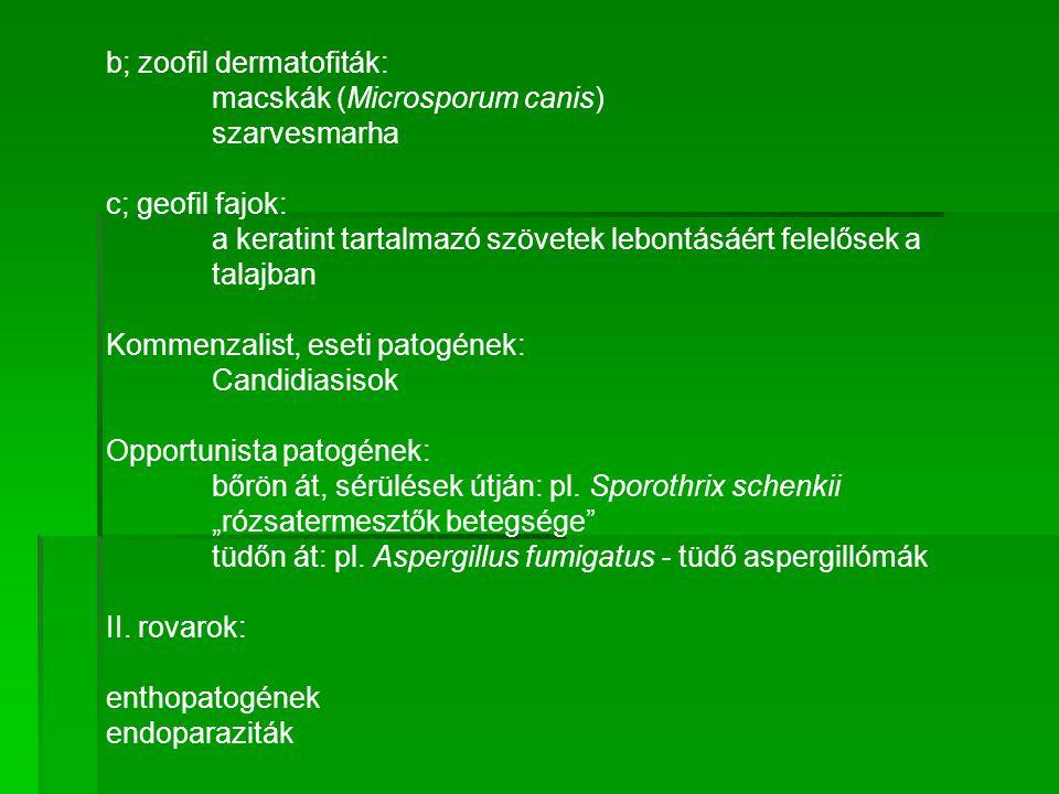 b; zoofil dermatofiták: