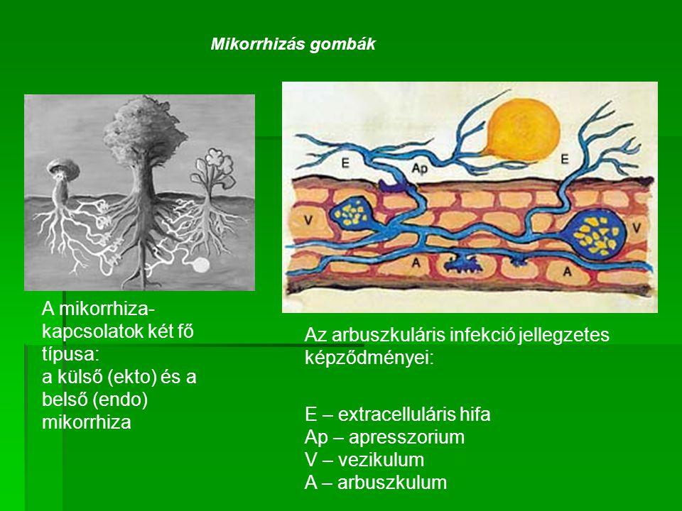 Az arbuszkuláris infekció jellegzetes képződményei: