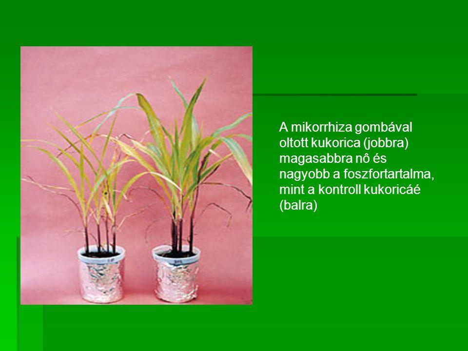 A mikorrhiza gombával oltott kukorica (jobbra) magasabbra nô és nagyobb a foszfortartalma, mint a kontroll kukoricáé (balra)
