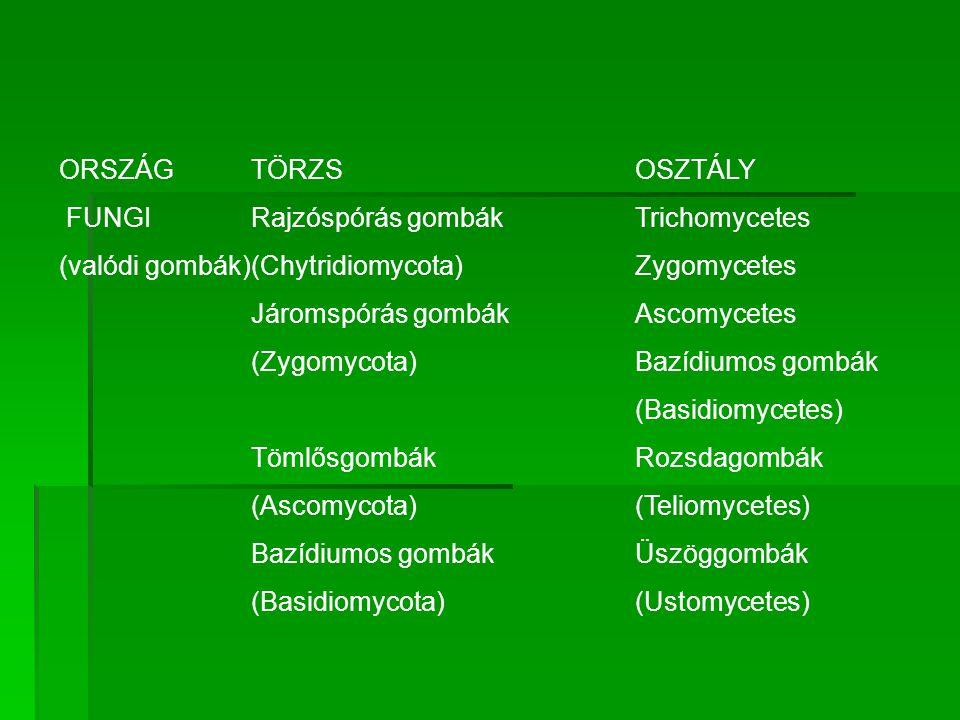 ORSZÁG TÖRZS OSZTÁLY FUNGI Rajzóspórás gombák Trichomycetes. (valódi gombák) (Chytridiomycota) Zygomycetes.