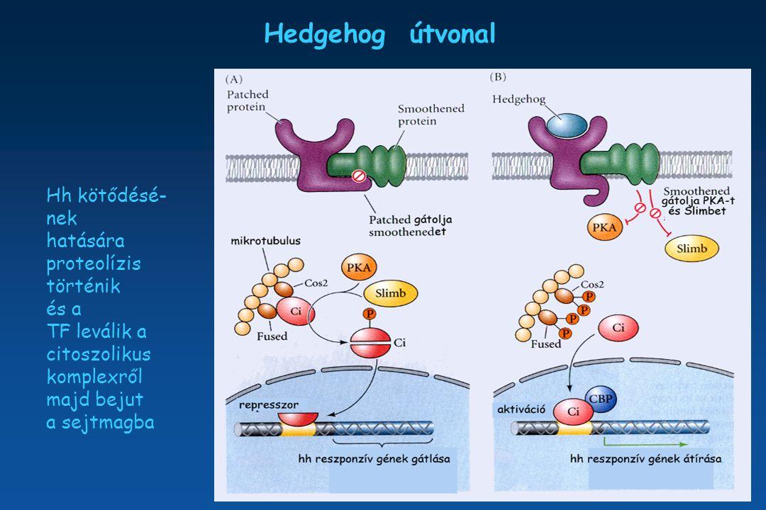 Hedgehog útvonal Hh kötődésé- nek hatására proteolízis történik és a