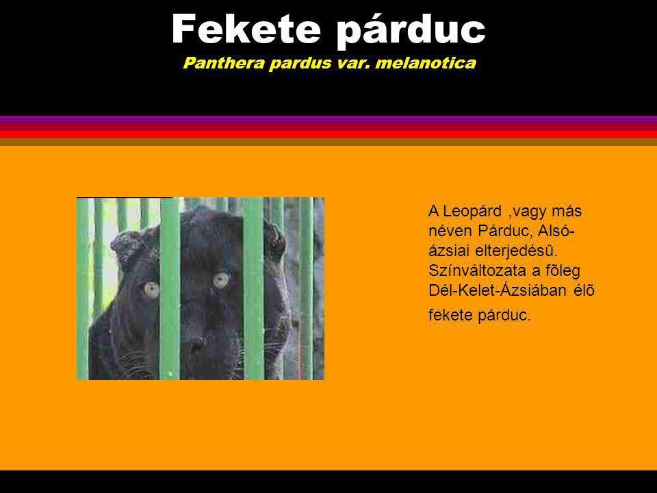 Fekete párduc Panthera pardus var. melanotica