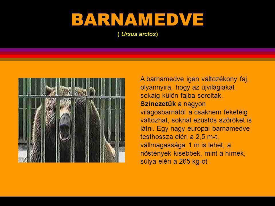 BARNAMEDVE ( Ursus arctos)