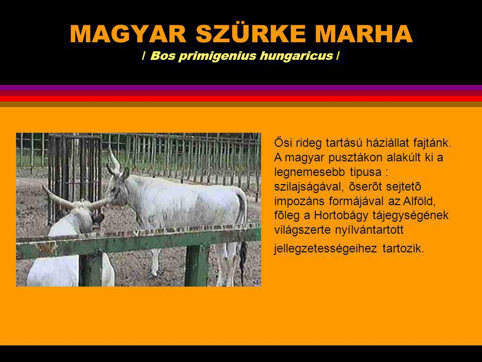 MAGYAR SZÜRKE MARHA / Bos primigenius hungaricus /
