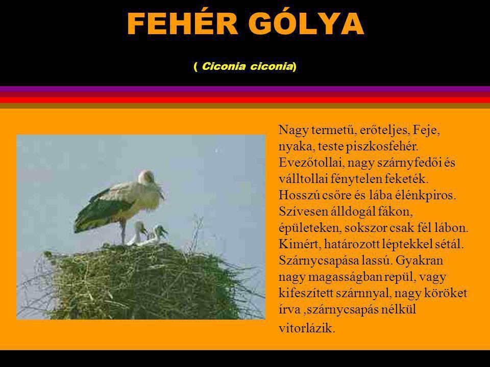 FEHÉR GÓLYA ( Ciconia ciconia)