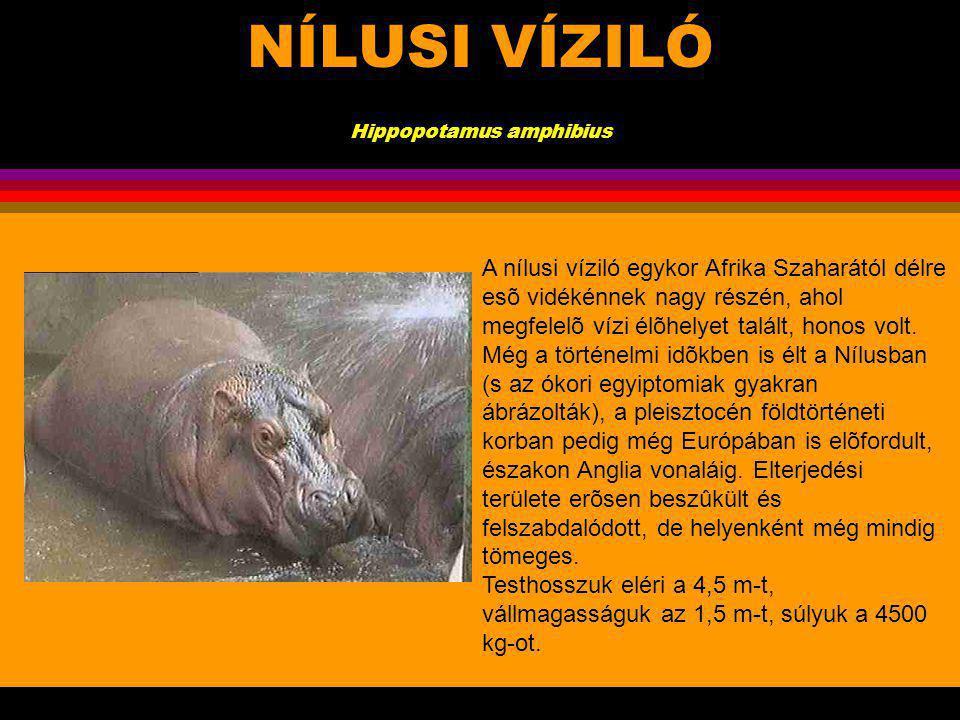 NÍLUSI VÍZILÓ Hippopotamus amphibius