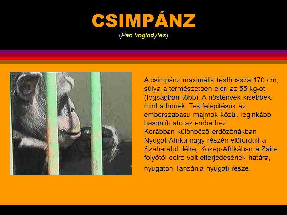 CSIMPÁNZ (Pan troglodytes)