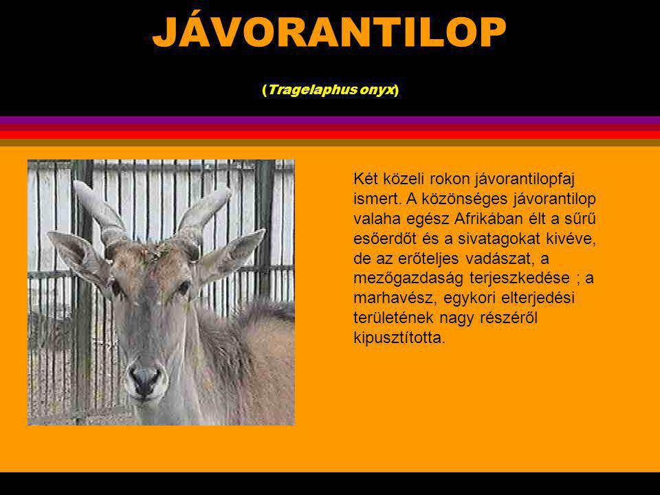 JÁVORANTILOP (Tragelaphus onyx)