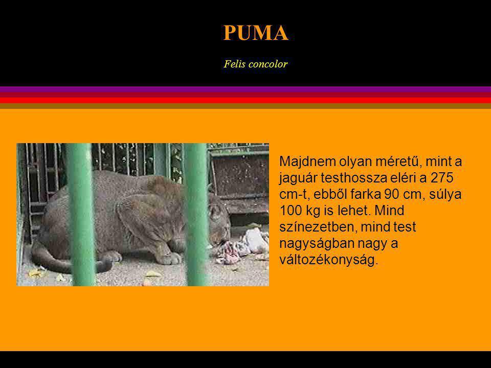 KONTINENSEK PUMA. Felis concolor. .
