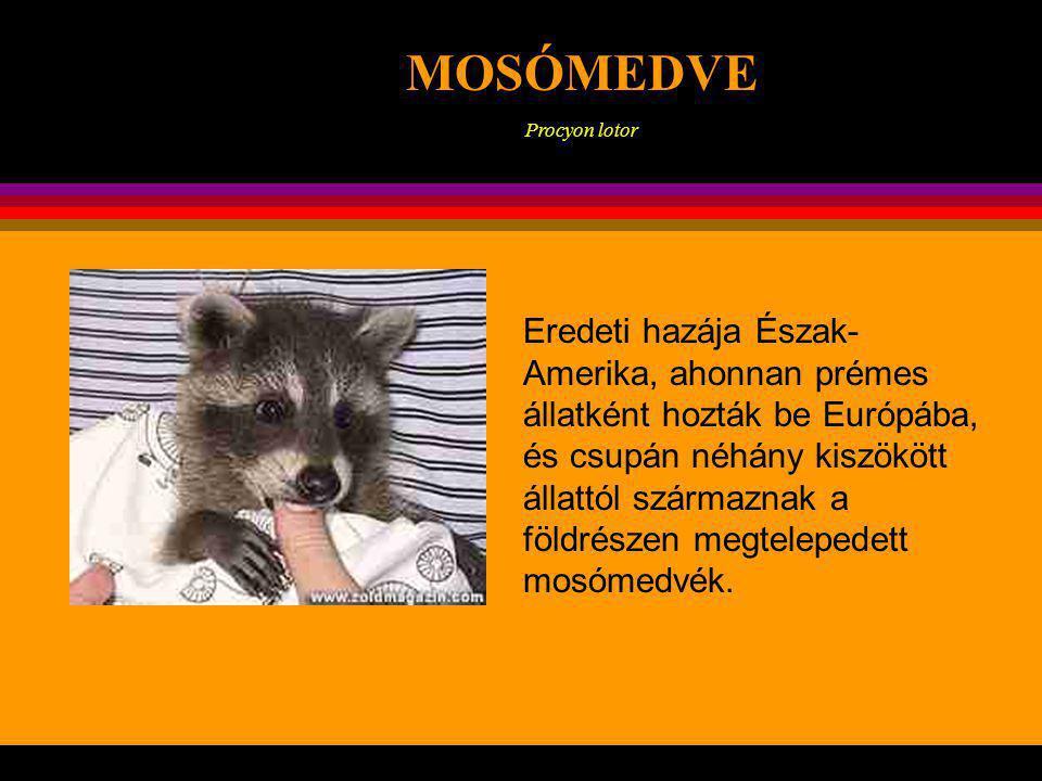 MOSÓMEDVE Procyon lotor