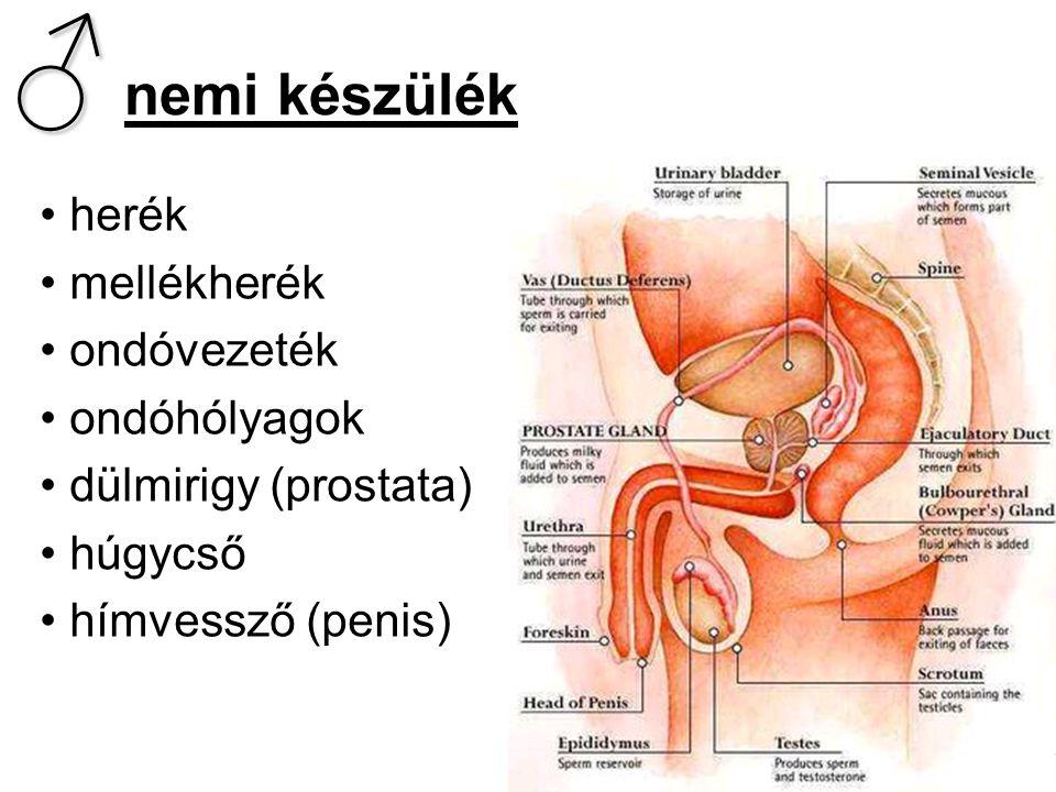 ♂ nemi készülék herék mellékherék ondóvezeték ondóhólyagok