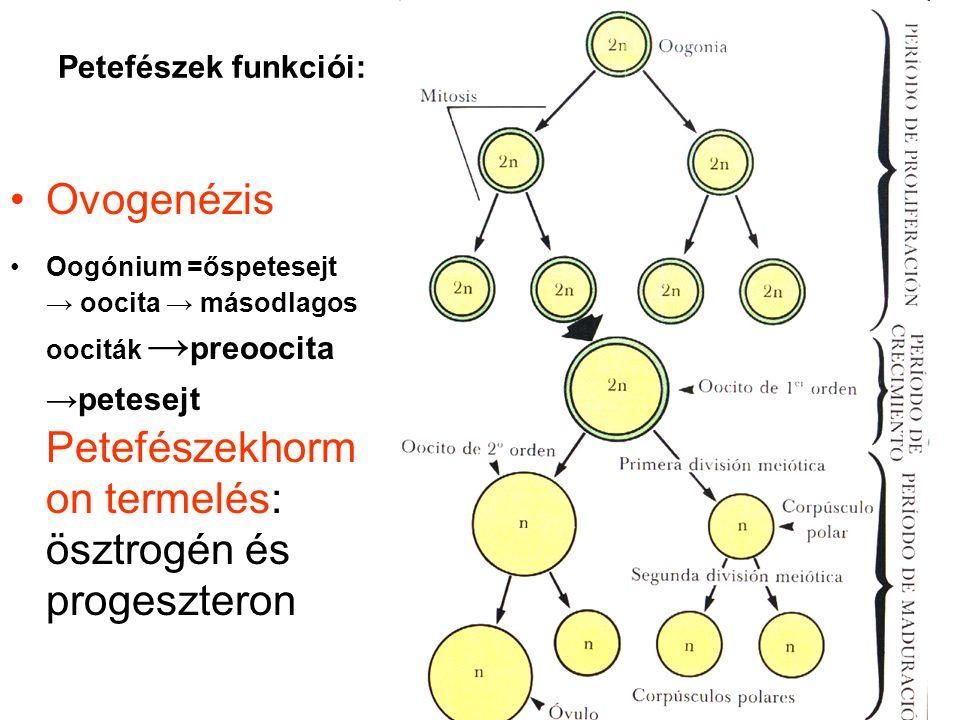 Ovogenézis Petefészek funkciói: