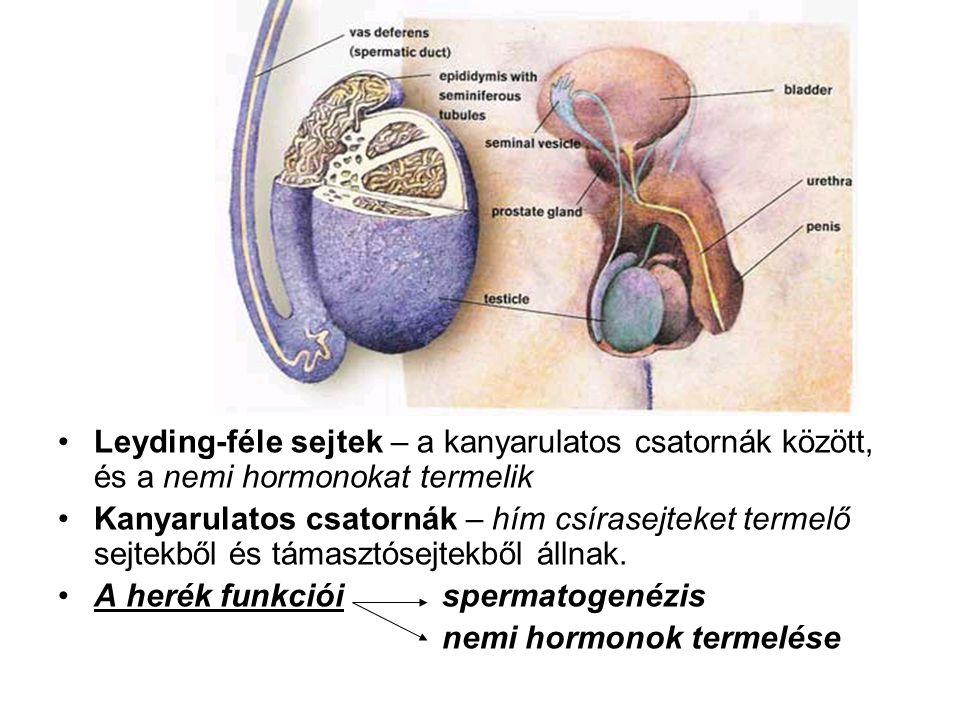 Leyding-féle sejtek – a kanyarulatos csatornák között, és a nemi hormonokat termelik
