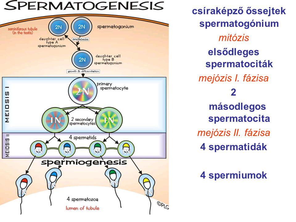 csíraképző őssejtek spermatogónium