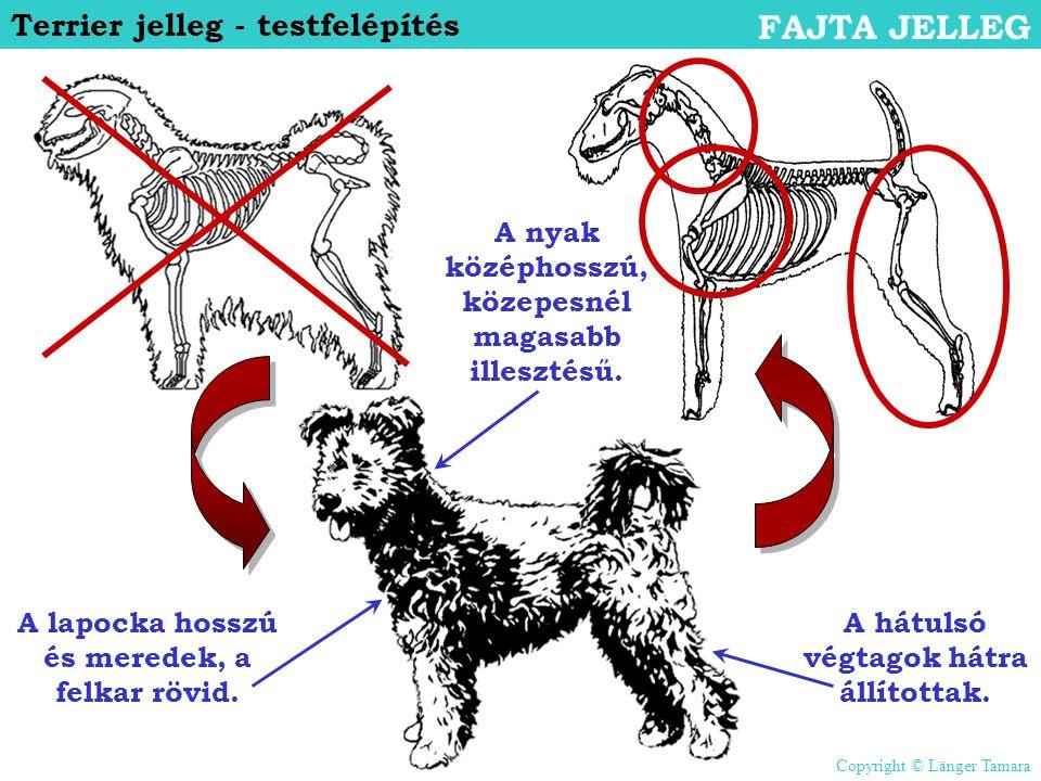 FAJTA JELLEG Terrier jelleg - testfelépítés