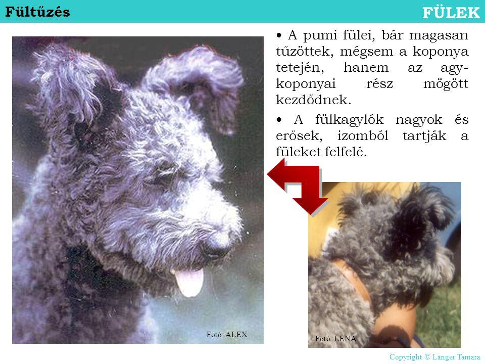 Fültűzés FÜLEK. • A pumi fülei, bár magasan tűzöttek, mégsem a koponya tetején, hanem az agy-koponyai rész mögött kezdődnek.