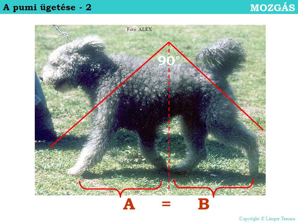 A = B 90° MOZGÁS A pumi ügetése - 2 Fotó: ALEX