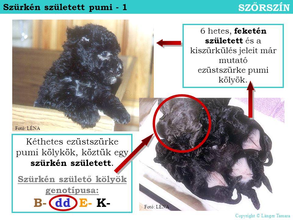 Szürkén születő kölyök genotípusa: B- dd E- K-