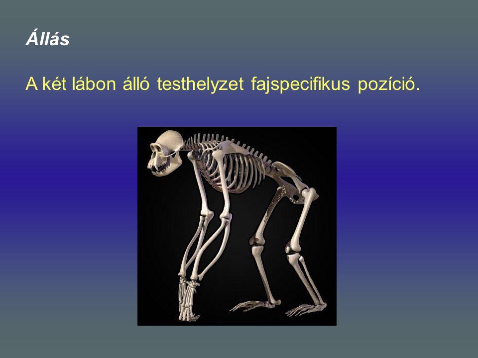 Állás A két lábon álló testhelyzet fajspecifikus pozíció.