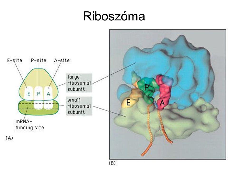 Riboszóma
