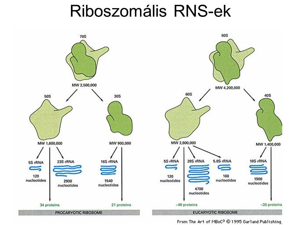 Riboszomális RNS-ek