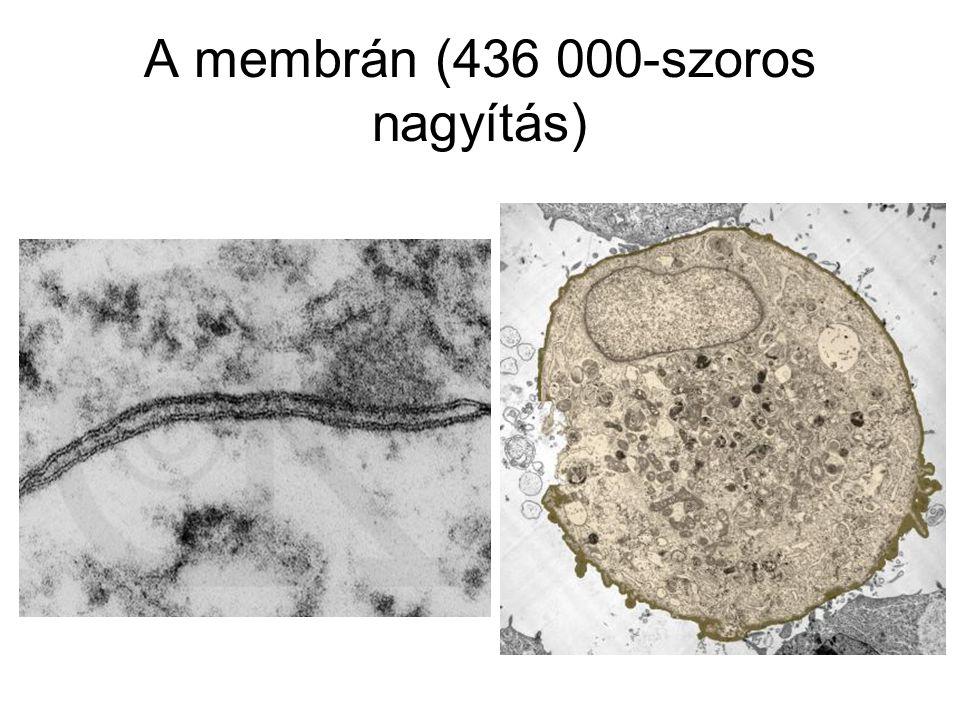 A membrán (436 000-szoros nagyítás)
