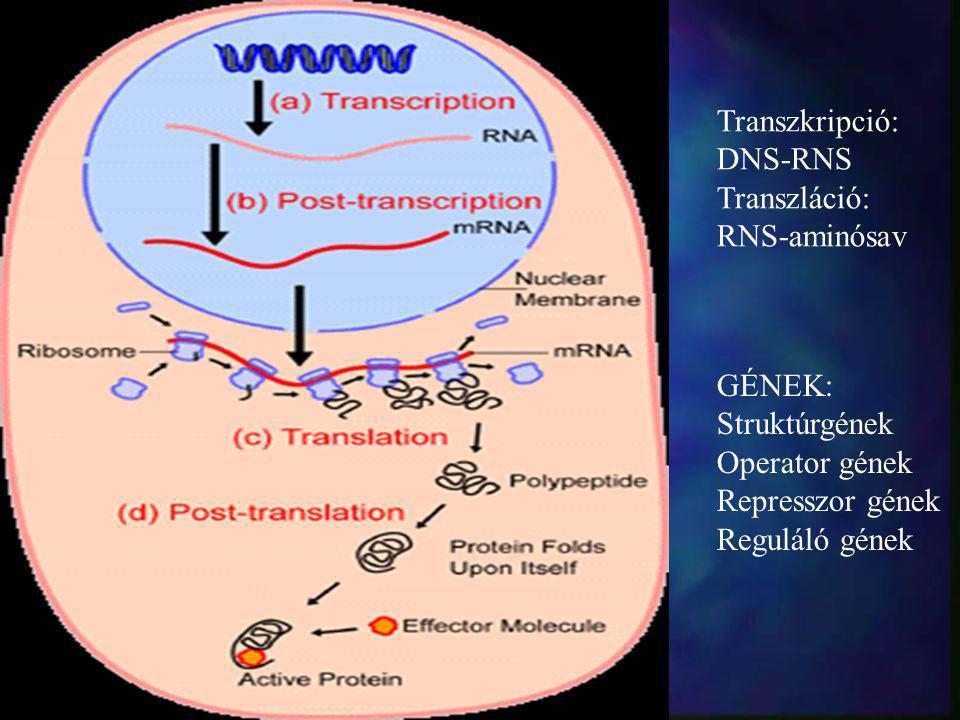Transzkripció: DNS-RNS