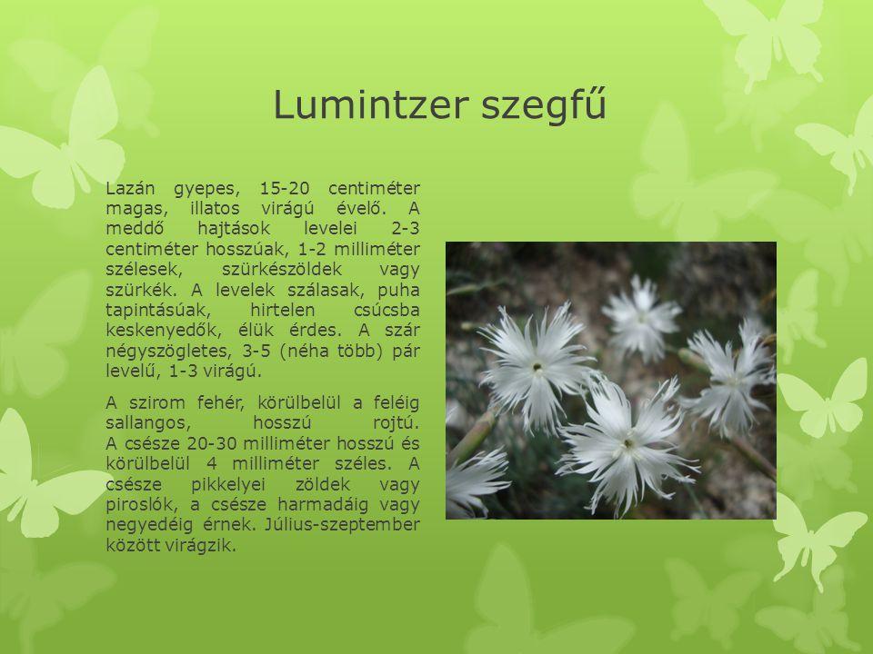 Lumintzer szegfű