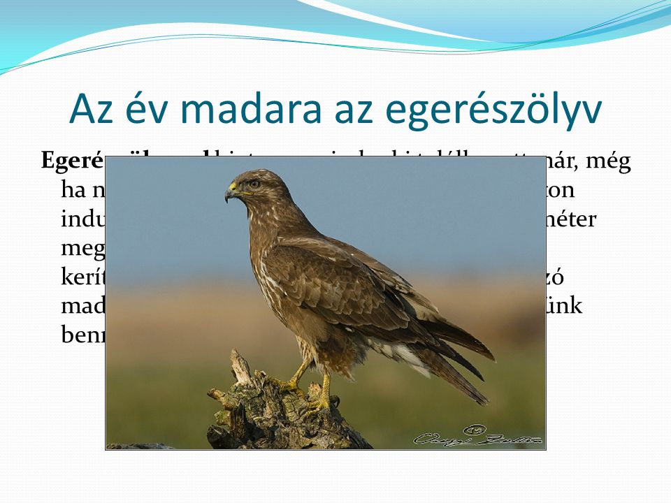 Az év madara az egerészölyv