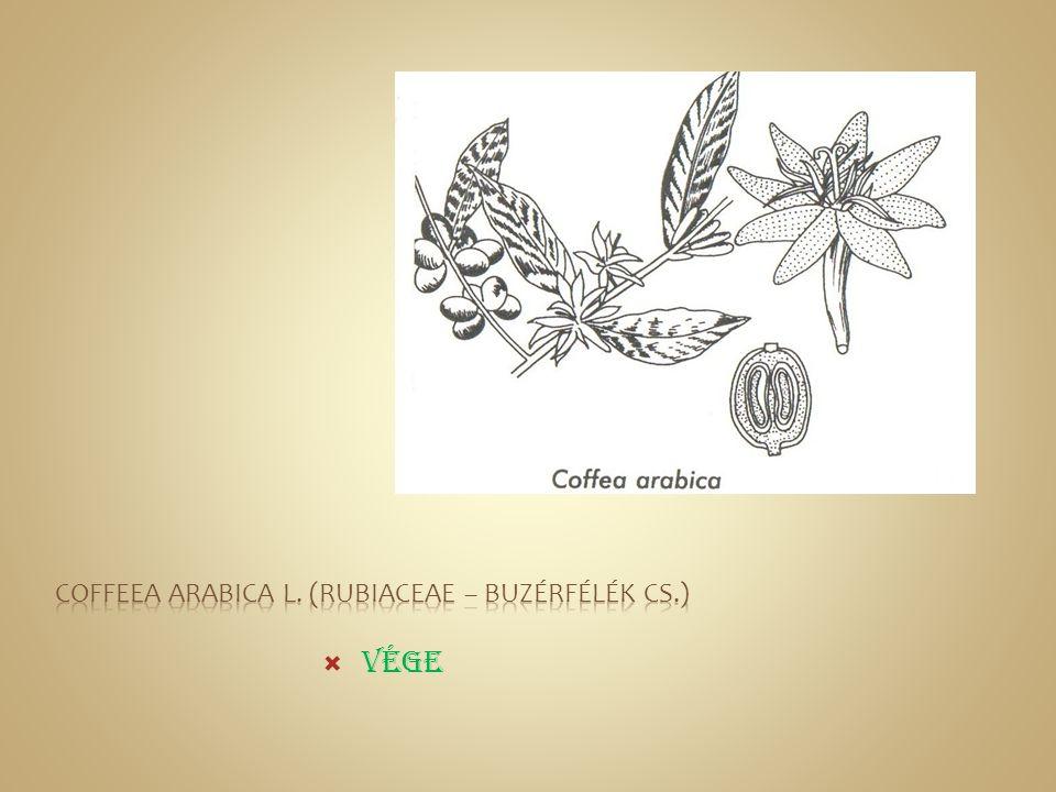 Coffeea arabica L. (Rubiaceae – Buzérfélék cs.)
